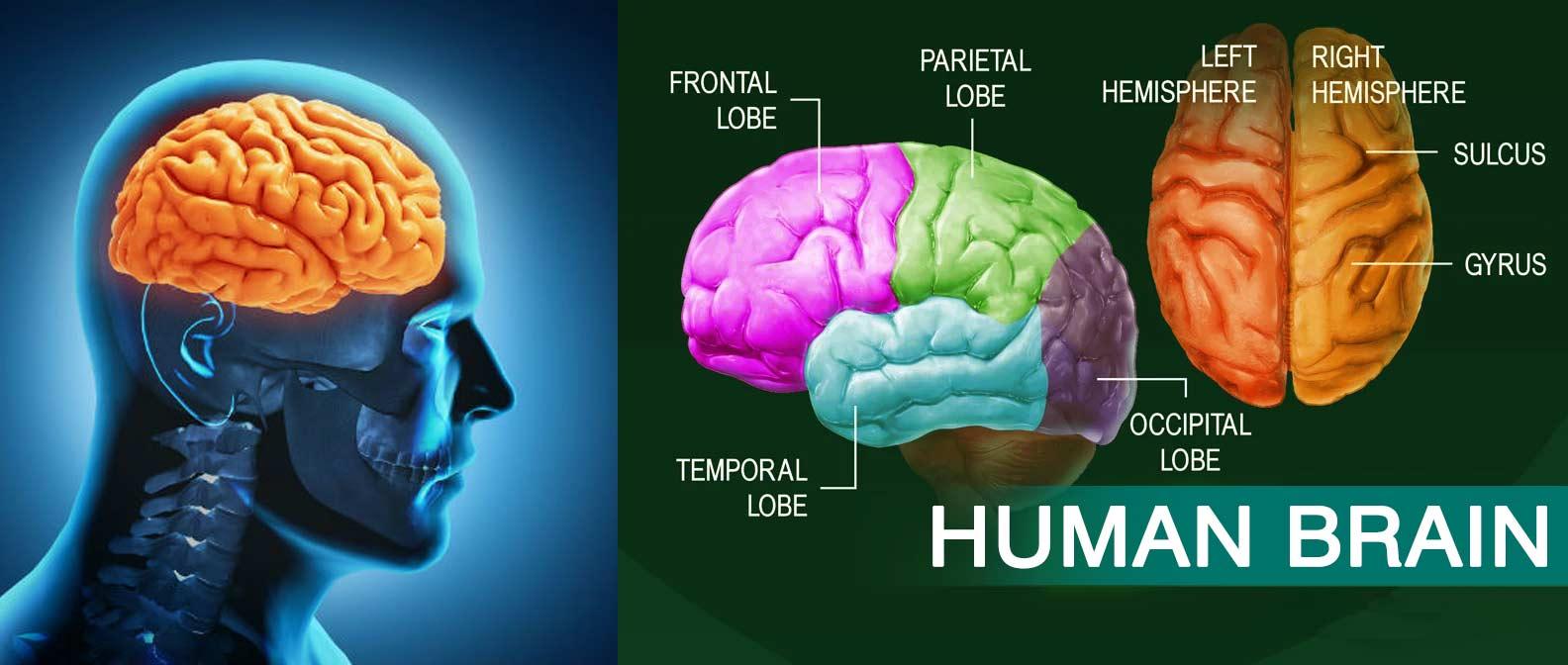 human-brain-anatomy-system